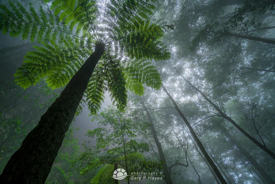 Fern Tree Katoomba