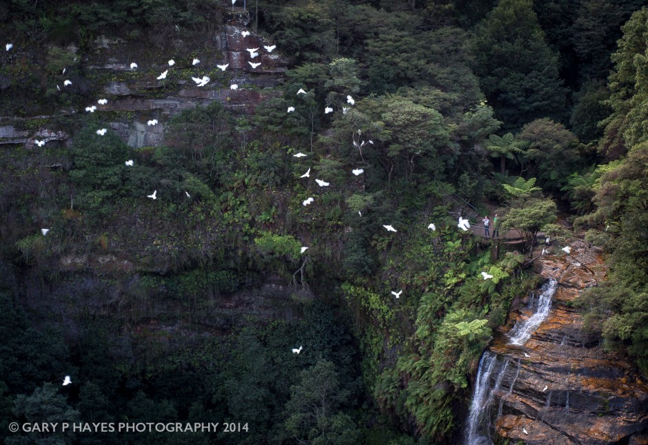 A flock of cockatoos and two visitors above Bridal Veil Falls in Leura