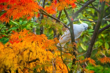 Autumn Cockatoo I