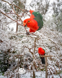 Cheeky-Snowy-Male-King-Parrot