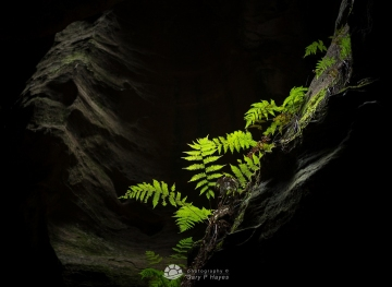 Canyon-Fern