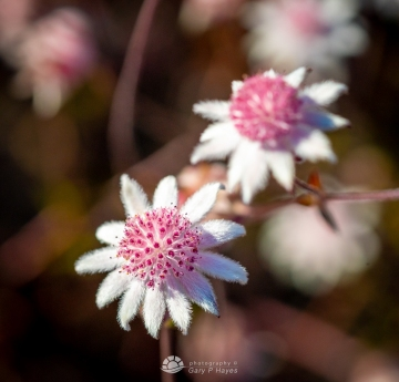 Pink-Flannel-Flowers-102