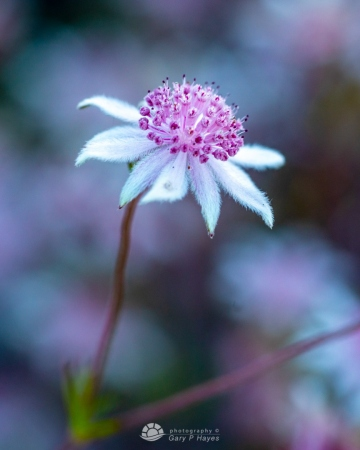 Pink-Flannel-Flowers-104