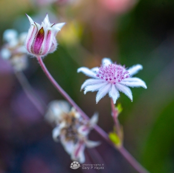 Pink-Flannel-Flowers-109