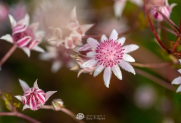 Pink-Flannel-Flowers-112-2