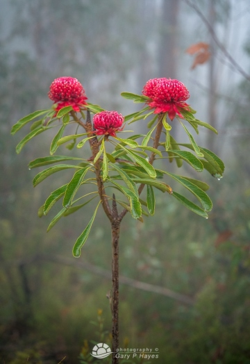 Waratahs-in-the-Mist