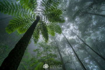 Fern Tree Katoomba