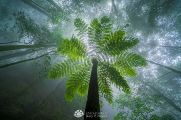 Misty Fern Tree